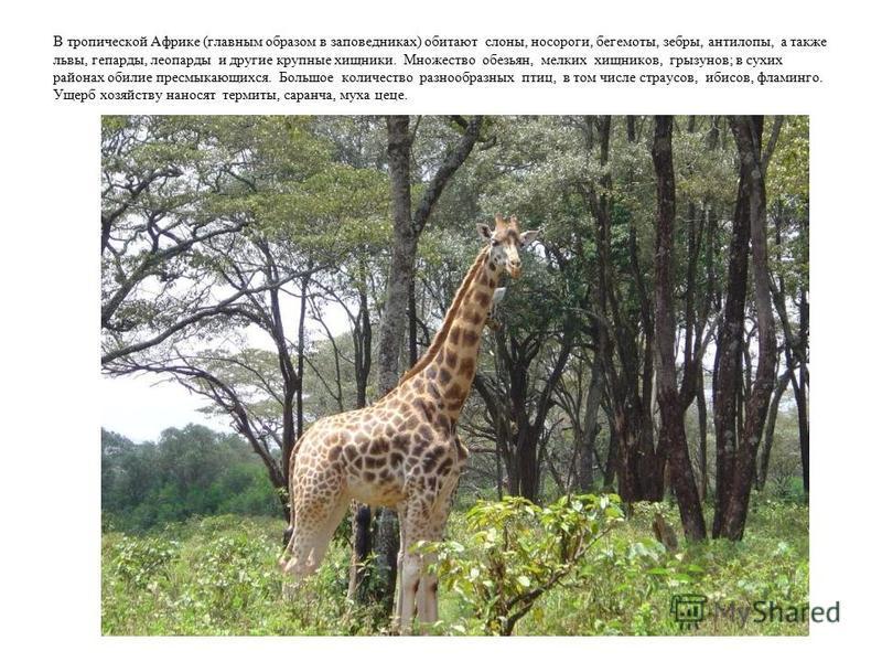 В тропической Африке (главным образом в заповедниках) обитают слоны, носороги, бегемоты, зебры, антилопы, а также львы, гепарды, леопарды и другие крупные хищники. Множество обезьян, мелких хищников, грызунов; в сухих районах обилие пресмыкающихся. Б