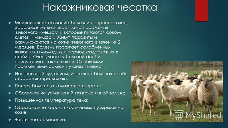 Накожниковая чесотка Медицинское название болезни псороптоз овец. Заболевание возникает из-за поражения животного клещами, которые питаются соком клеток и лимфой. Живут паразиты и размножаются на коже животного в течение 2 месяцев. Болезнь поражает о