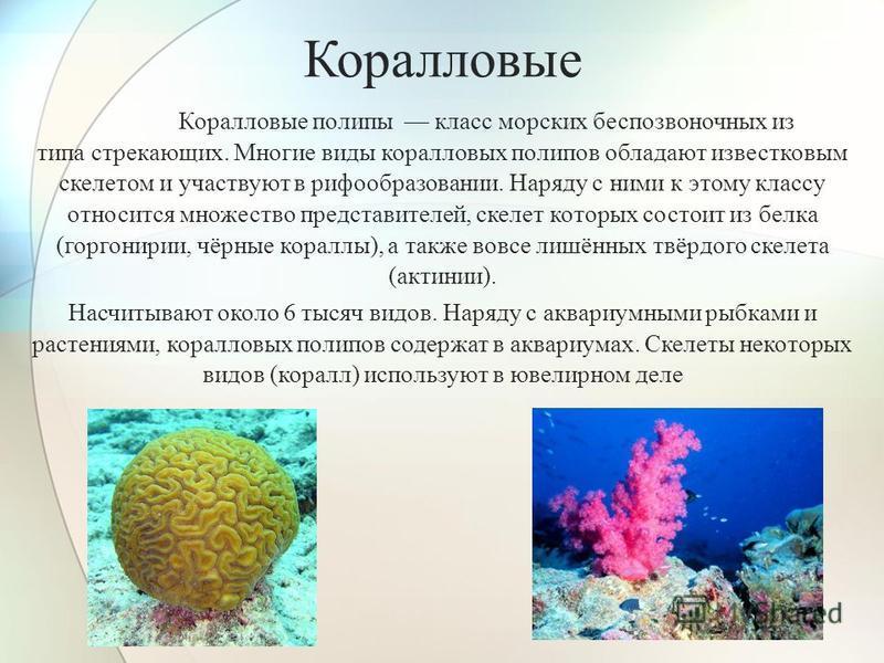 Коралловые Коралловые полипы класс морских беспозвоночных из типа стрекающих. Многие виды коралловых полипов обладают известковым скелетом и участвуют в профобразовании. Наряду с ними к этому классу относится множество представителей, скелет которых