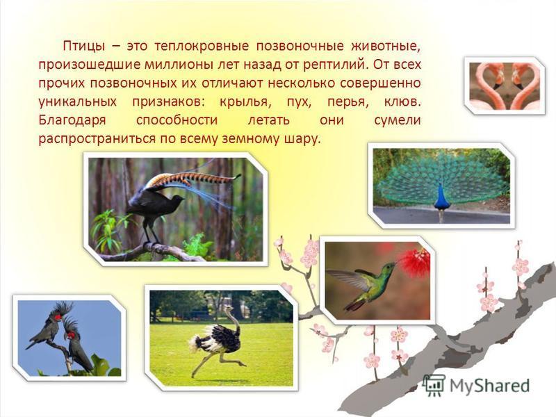Птицы – это теплокровные позвоночные животные, произошедшие миллионы лет назад от рептилий. От всех прочих позвоночных их отличают несколько совершенно уникальных признаков: крылья, пух, перья, клюв. Благодаря способности летать они сумели распростра