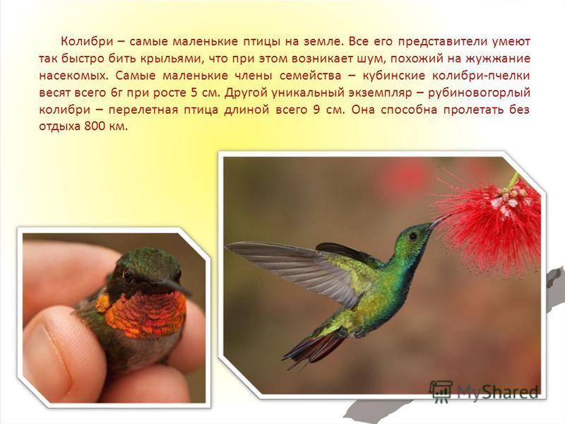Колибри – самые маленькие птицы на земле. Все его представители умеют так быстро бить крыльями, что при этом возникает шум, похожий на жужжание насекомых. Самые маленькие члены семейства – кубинские колибри-пчелки весят всего 6 г при росте 5 см. Друг