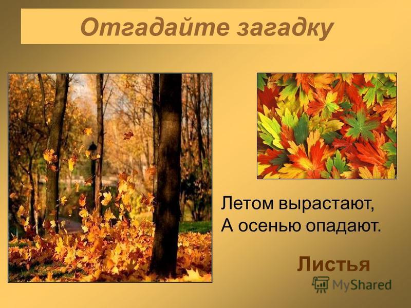Отгадайте загадку Летом вырастают, А осенью опадают. Листья