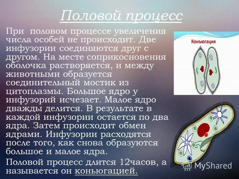 Половой процесс При половом процессе увеличения числа особей не происходит. Две инфузории соединяются друг с другом. На месте соприкосновения оболочка растворяется, и между животными образуется соединительный мостик из цитоплазмы. Большое ядро у инфу