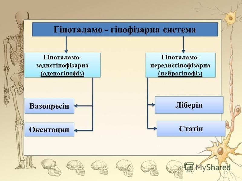 Гіпоталамо - гіпофізарна система Гіпоталамо- заднєгіпофізарна (аденогіпофіз) Гіпоталамо- переднєгіпофізарна (нейрогіпофіз) Статін Окситоцин Вазопресін Ліберін 10