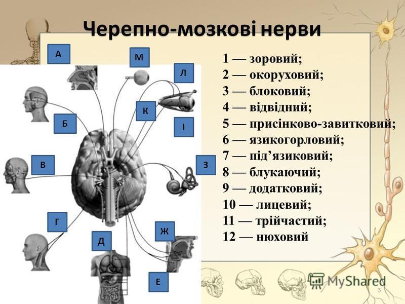 1 зоровий; 2 окоруховий; 3 блоковий; 4 відвідний; 5 присінково-завитковий; 6 язикогорловий; 7 підязиковий; 8 блукаючий; 9 додатковий; 10 лицевий; 11 трійчастий; 12 нюховий Черепно-мозкові нерви А М Л К І З Ж Е Б В Г Д 3