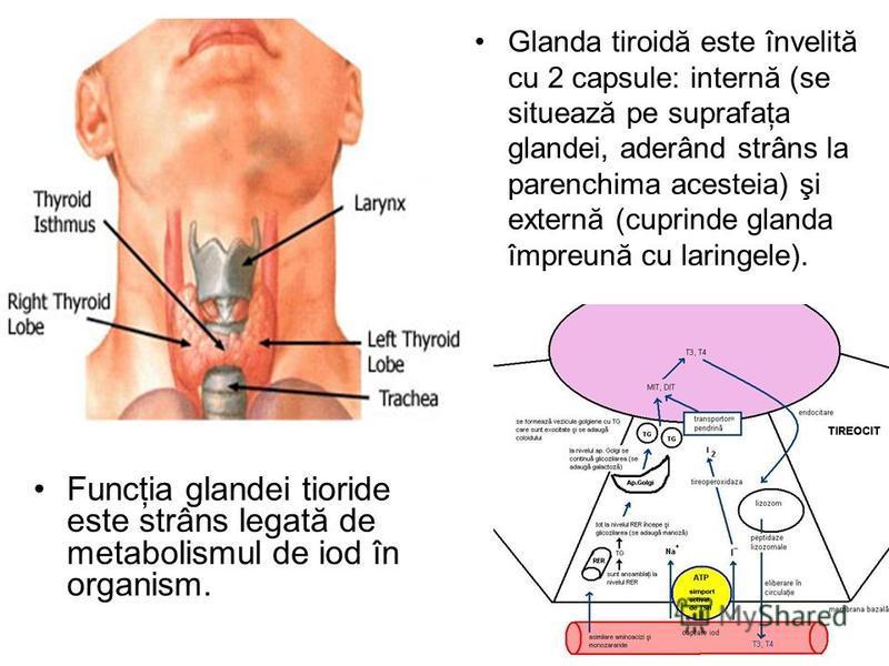 Glanda tiroidă este învelită cu 2 capsule: internă (se situează pe suprafaţa glandei, aderând strâns la parenchima acesteia) şi externă (cuprinde glanda împreună cu laringele). Funcţia glandei tioride este strâns legată de metabolismul de iod în orga