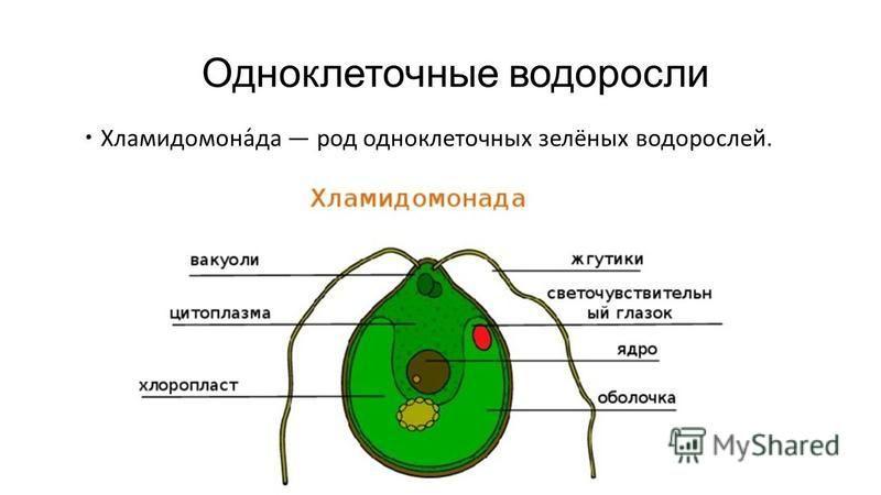 Одноклеточные водоросли Хламидомона́да род одноклеточных зелёных водорослей.