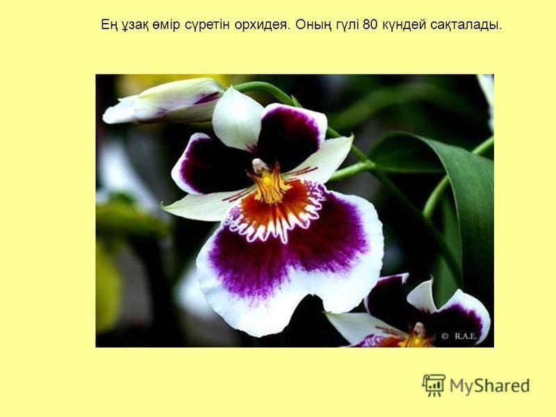 Ең ұзақ өмір сүретін орхидея. Оның гүлі 80 күндей сақталаты.