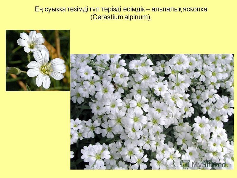 Ең суыққа төзімді гүл тәрізді өсімдік – альпалық ясколка (Cerastium alpinum),