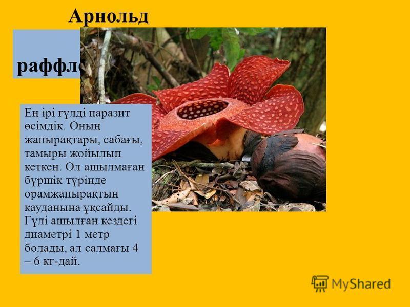 Арнольд раффлезиясы Ең ірі гүлді паразит өсімдік. Оның жапырақтары, сабағы, тамары жойылып кеткен. Ол ашылмаған бүршік түрінде орамжапырақтың қауданына ұқсайты. Гүлі ашылған кездегі диаметрі 1 метр болаты, ал салмағы 4 – 6 кг-дай.