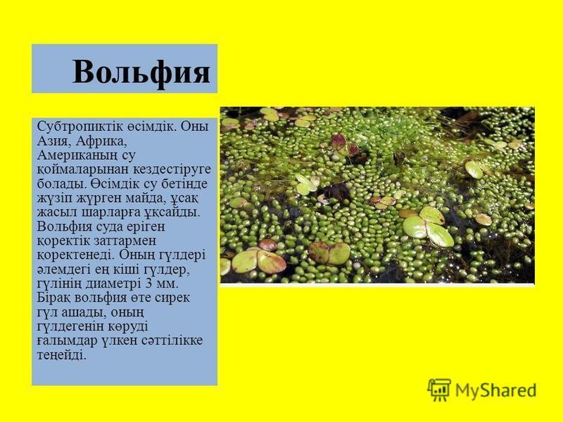Вольфия Субтропиктік өсімдік. Оны Азия, Африка, Американың су қоймаларынан кездестіруге болаты. Өсімдік су бетінде жүзіп жүрген майдан, ұсақ жасыл шарларға ұқсайты. Вольфия суда еріген қоректік заттармен қоректенеді. Оның гүлдері әлемдегі ең кіші гүл