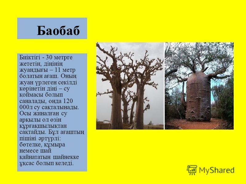 Баобаб Биіктігі - 30 метрге жететін, діңінің жуантығы – 11 метр болалтын ағаш. Оның жуан үрлеген секілді көрінетін діңі – су қоймасы болып саналаты, фонда 120 000 л су сақталынаты. Осы жиналған су арқылы ол өзін құрғақшылықтан сақтайты. Бұл ағаштың п