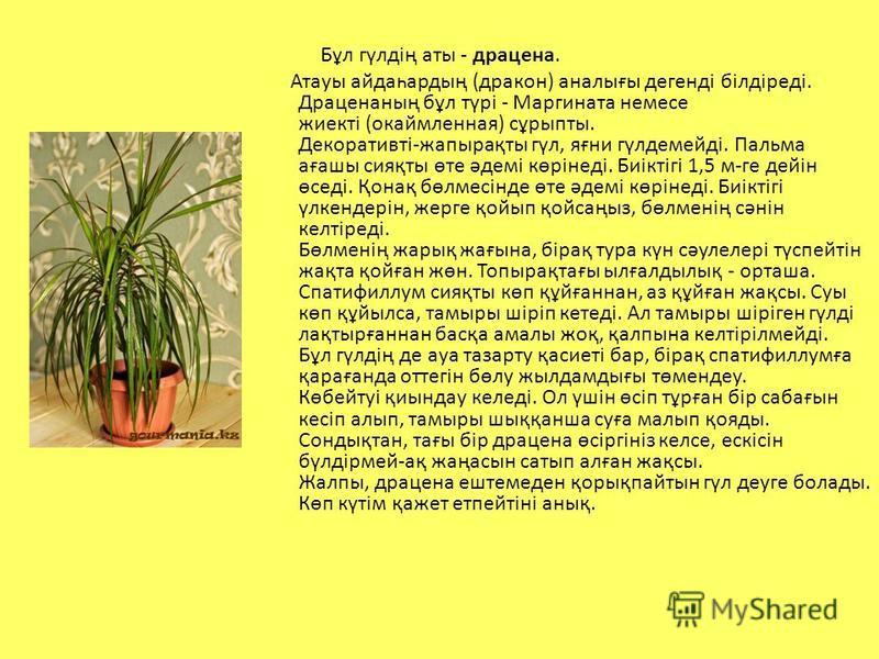 Бұл гүлдің аты - драцена. Атауы айдаһартың (дракон) аналығы денегді білдіреді. Драценаның бұл түрі - Маргината немесе жиекті (окаймленная) сұрыпты. Декоративті-жапырақты гүл, яғни гүлдемейді. Пальма ағашы сияқты өте әдемі көрінеді. Биіктігі 1,5 м-ге