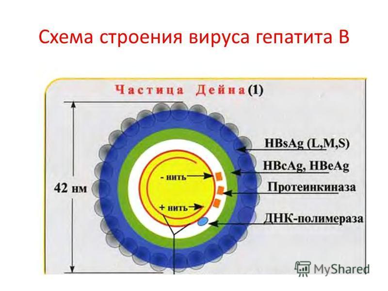 Схема строения вируса гепатита В