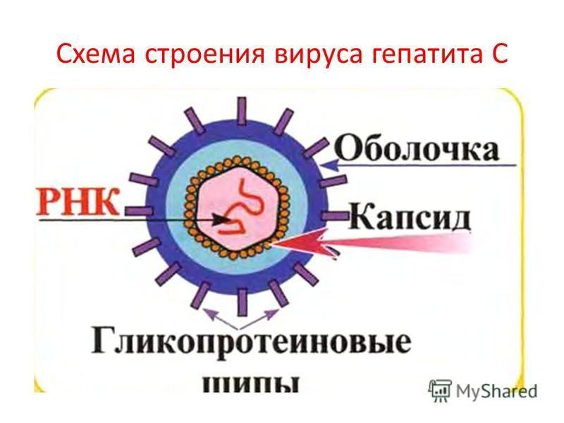 Схема строения вируса гепатита С
