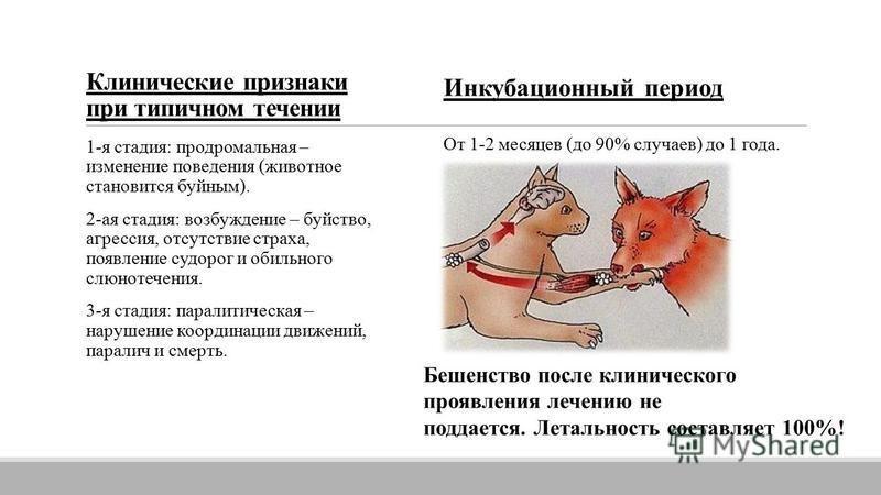 Клинические признаки при типичном течении 1-я стадия: продромальная – изменение поведения (животное становится буйным). 2-ая стадия: возбуждение – буйство, агрессия, отсутствие страха, появление судорог и обильного слюнотечения. 3-я стадия: паралитич