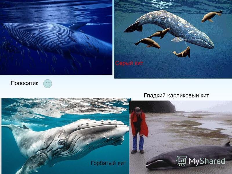 Полосатик Горбатый кит Серый кит Гладкий карликовый кит