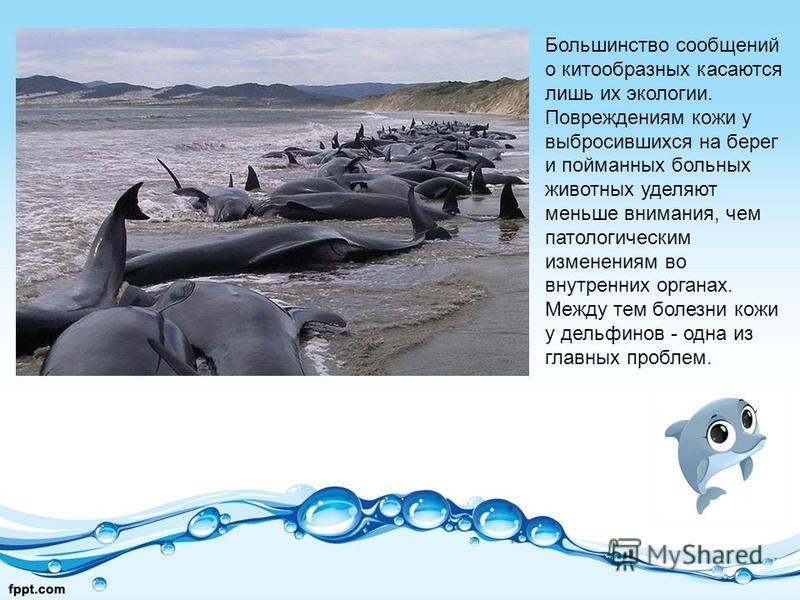 Большинство сообщений о китообразных касаются лишь их экологии. Повреждениям кожи у выбросившихся на берег и пойманных больных животных уделяют меньше внимания, чем патологическим изменениям во внутренних органах. Между тем болезни кожи у дельфинов -