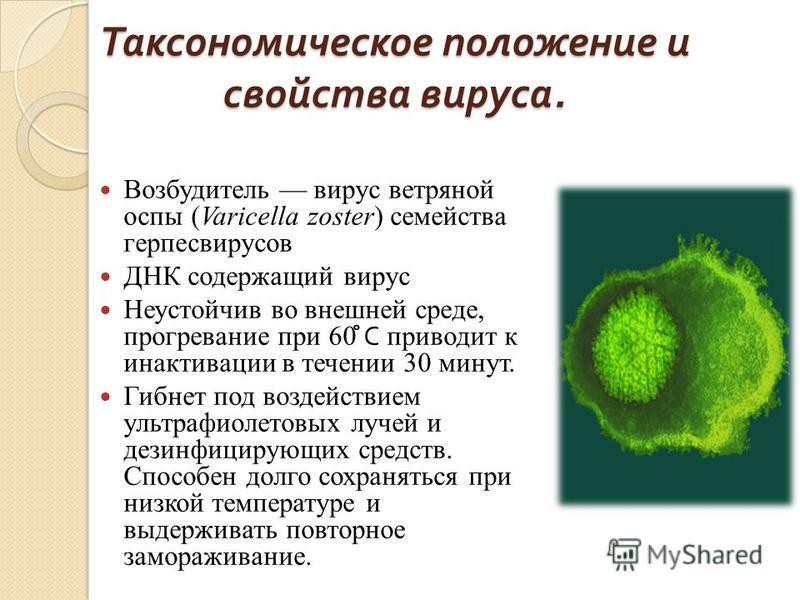 Таксономическое положение и свойства вируса. Возбудитель вирус ветряной оспы (Varicella zoster) семейства герпесвирусов ДНК содержащий вирус Неустойчив во внешней среде, прогревание при 60 ̊̊ С приводит к инактивации в течении 30 минут. Гибнет под во