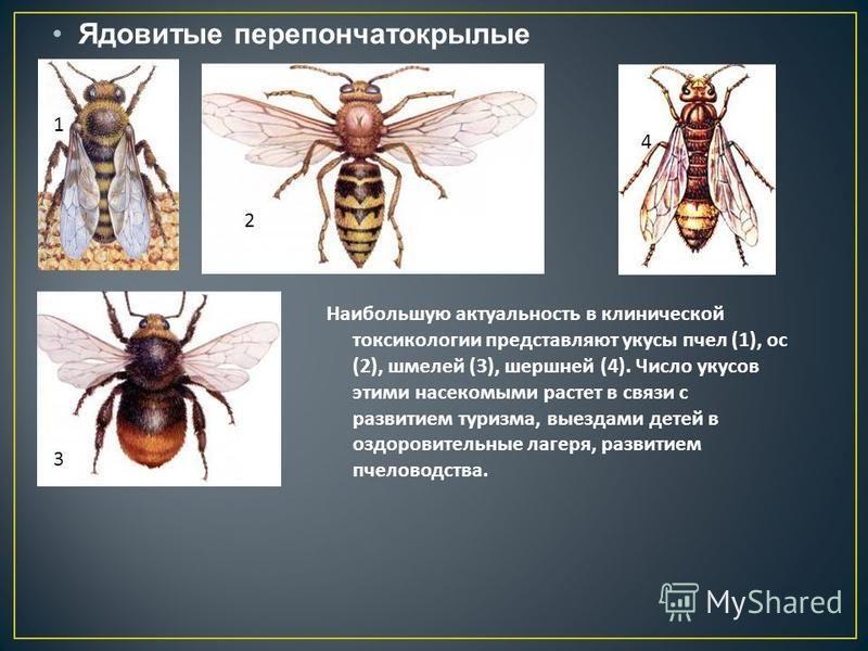 Ядовитые перепончатокрылые 1 2 4 3 Наибольшую актуальность в клинической токсикологии представляют укусы пчел (1), ос (2), шмелей (3), шершней (4). Число укусов этими насекомыми растет в связи с развитием туризма, выездами детей в оздоровительные лаг