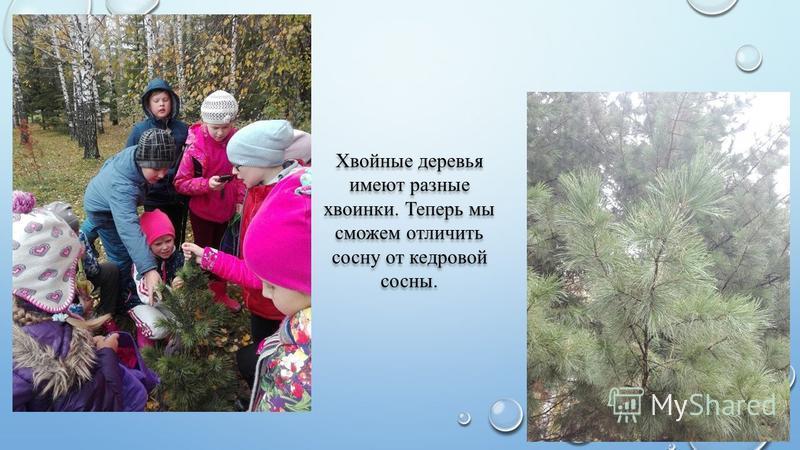 Хвойные деревья имеют разные хвоинки. Теперь мы сможем отличить сосну от кедровой сосны.