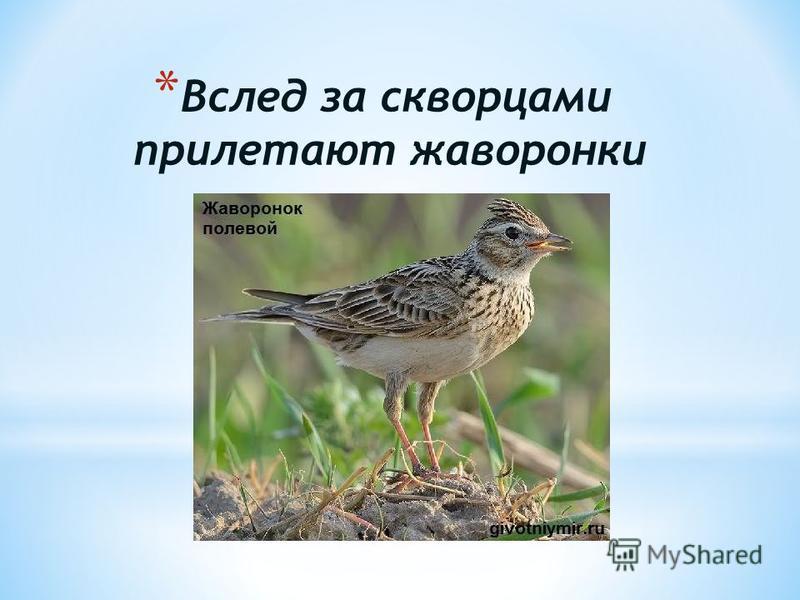 * Вслед за скворцами прилетают жаворонки