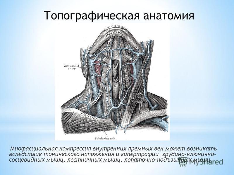 Миофасциальная компрессия внутренних яремных вен может возникать вследствие тонического напряжения и гипертрофии грудино-ключично- сосцевидных мышц, лестничных мышц, лопаточно-подъязычных мышц. Топографическая анатомия