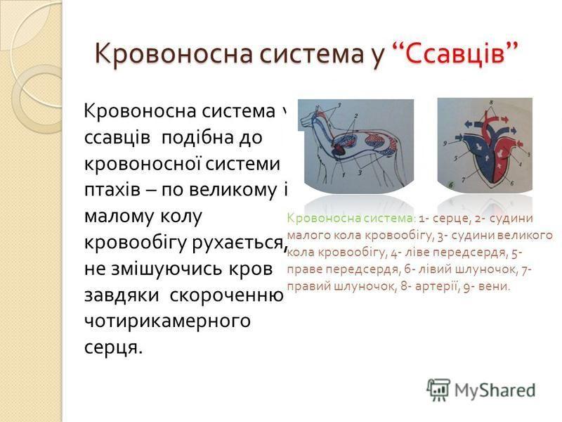 Кровоносна система у Ссавців Кровоносна система у Ссавців Кровоносна система у ссавців подібна до кровоносної системи птахів – по великому і малому колу кровообігу рухається, не змішуючись кров завдяки скороченню чотирикамерного серця. Кровоносна сис