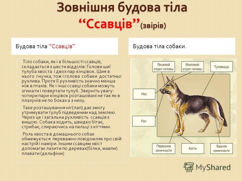 Зовнішня будова тіла Ссавців ( звірів ) Будова тіла Ссавців Будова тіла собаки. Тіло собаки, як і в більшості ссавців, складається з шести відділів : Голови шиї тулуба хвоста і двох пар кінцівок. Шия в нього гнучка, тож і голова собаки достатньо рухл