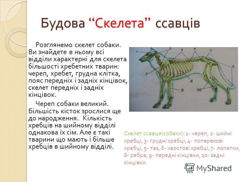 Будова Скелета ссавців Розглянемо скелет собаки. Ви знайдете в ньому всі відділи характерні для скелета більшості хребетних тварин : череп, хребет, грудна клітка, пояс передніх і задніх кінцівок, скелет передніх і задніх кінцівок. Череп собаки велики