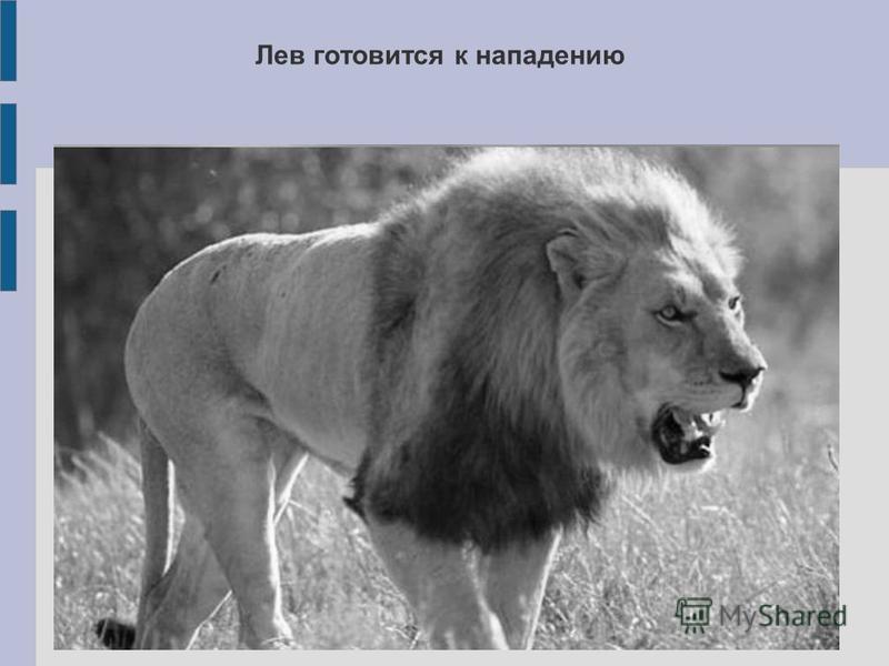 Лев готовится к нападению