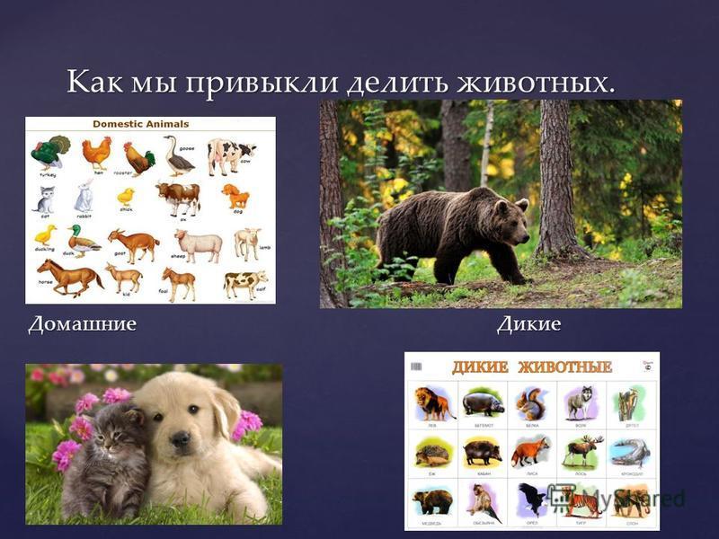 Домашние Дикие Как мы привыкли делить животных.