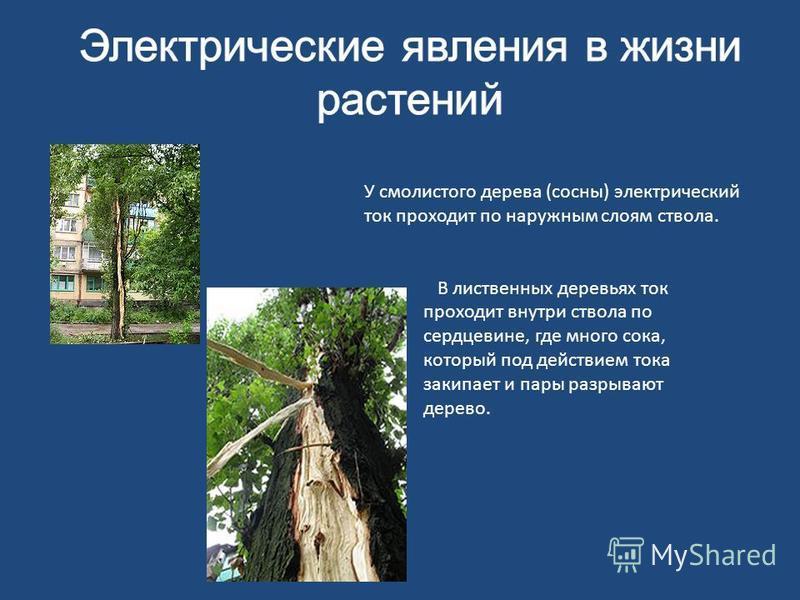У смолистого дерева (сосны) электрический ток проходит по наружным слоям ствола. В лиственных деревьях ток проходит внутри ствола по сердцевине, где много сока, который под действием тока закипает и пары разрывают дерево.