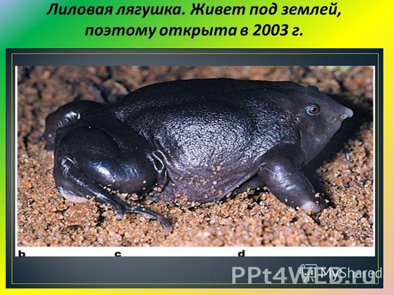 Лиловая лягушка. Живет под землей, поэтому открыта в 2003 г.