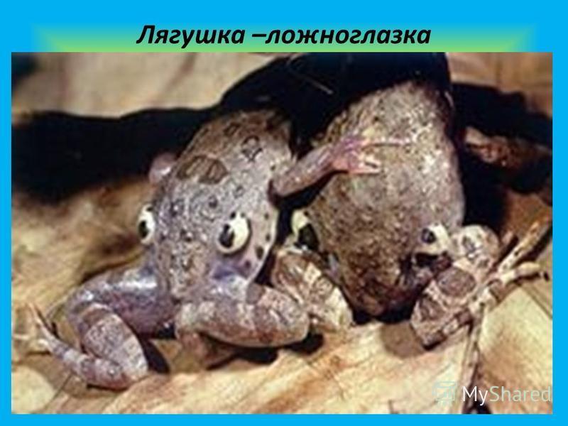 Лягушка –ложноглазка