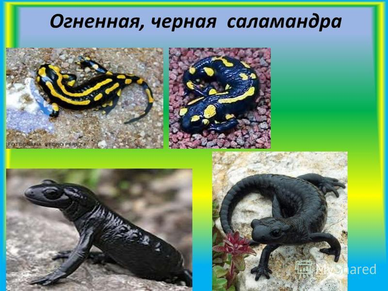 Огненная, черная саламандра