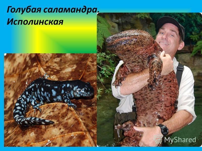 Голубая саламандра, Исполинская