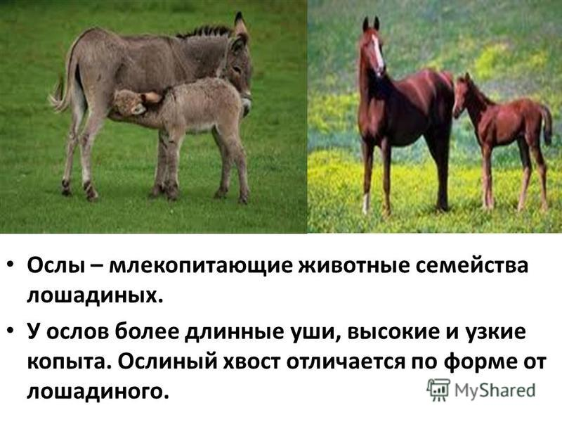 Ослы – млекопитающие животные семейства лошадиных. У ослов более длинные уши, высокие и узкие копыта. Ослиный хвост отличается по форме от лошадиного.