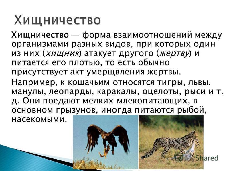 Хищничество форма взаимоотношений между органисмами разных видов, при которых один из них (хищник) атакует другого (жертву) и питается его плотью, то есть обычно присутствует акт умерщвления жертвы. Например, к кошачьим относятся тигры, львы, манулы,