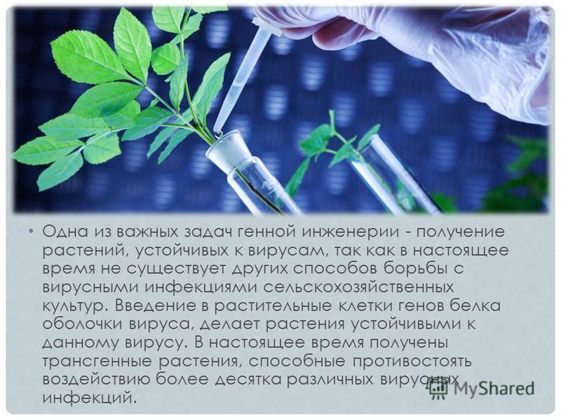 Одна из важных задач генной инженерии - получение растений, устойчивых к вирусам, так как в настоящее время не существует других способов борьбы с вирусными инфекциями сельскохозяйственных культур. Введение в растительные клетки генов белка оболочки