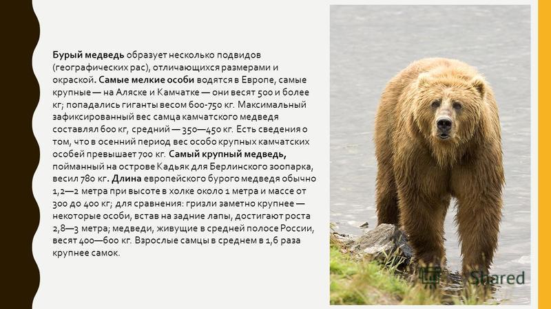 Бурый медведь образует несколько подвидов ( географических рас ), отличающихся размерами и окраской. Самые мелкие особи водятся в Европе, самые крупные на Аляске и Камчатке они весят 500 и более кг ; попадались гиганты весом 600-750 кг. Максимальный