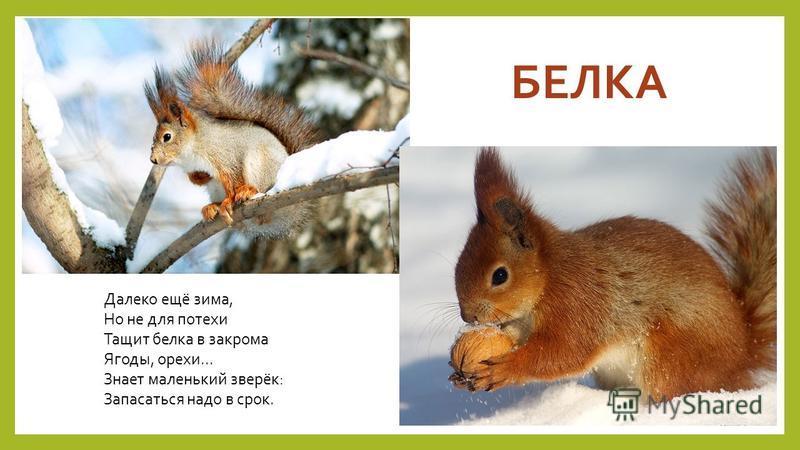 БЕЛКА Далеко ещё зима, Но не для потехи Тащит белка в закрома Ягоды, орехи... Знает маленький зверёк: Запасаться надо в срок.