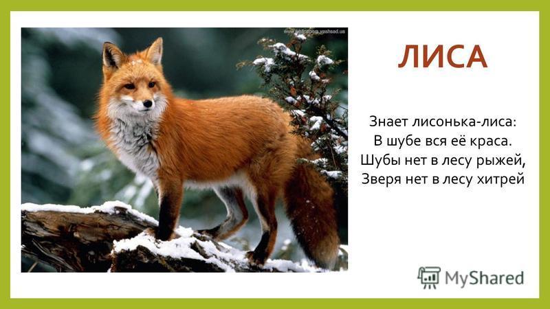 ЛИСА Знает лисонька-лиса: В шубе вся её краса. Шубы нет в лесу рыжей, Зверя нет в лесу хитрей