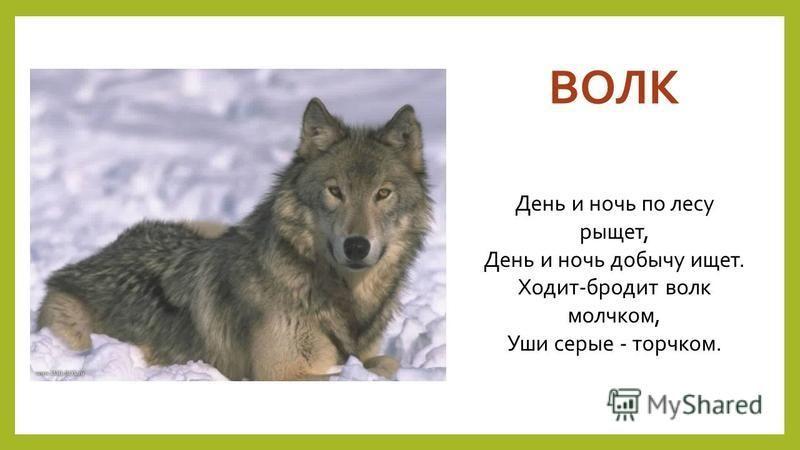 ВОЛК День и ночь по лесу рыщет, День и ночь добычу ищет. Ходит-бродит волк молчком, Уши серые - торчком.