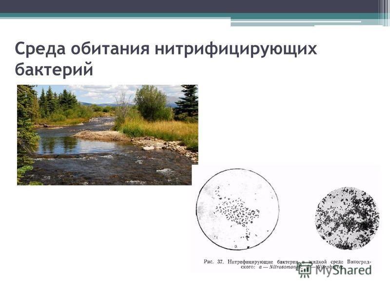 Среда обитания нитрифицирующих бактерий