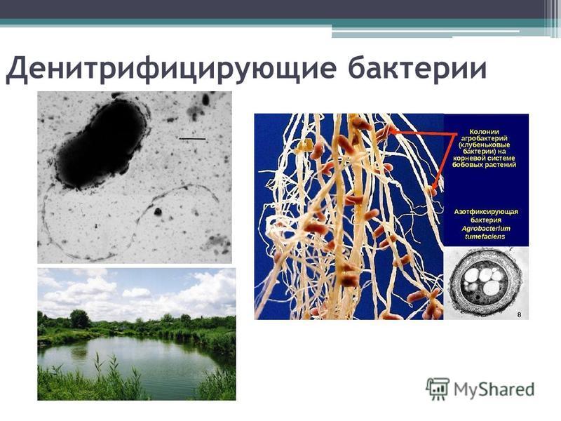 Денитрифицирующие бактерии