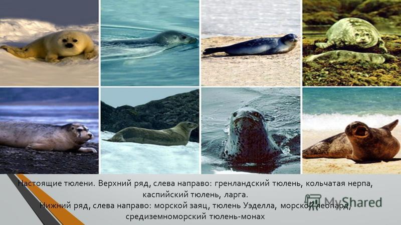 Настоящие тюлени. Верхний ряд, слева направо: гренландский тюлень, кольчатая нерпа, каспийский тюлень, ларга. Нижний ряд, слева направо: морской заяц, тюлень Уэделла, морской леопард, средиземноморский тюлень-монах