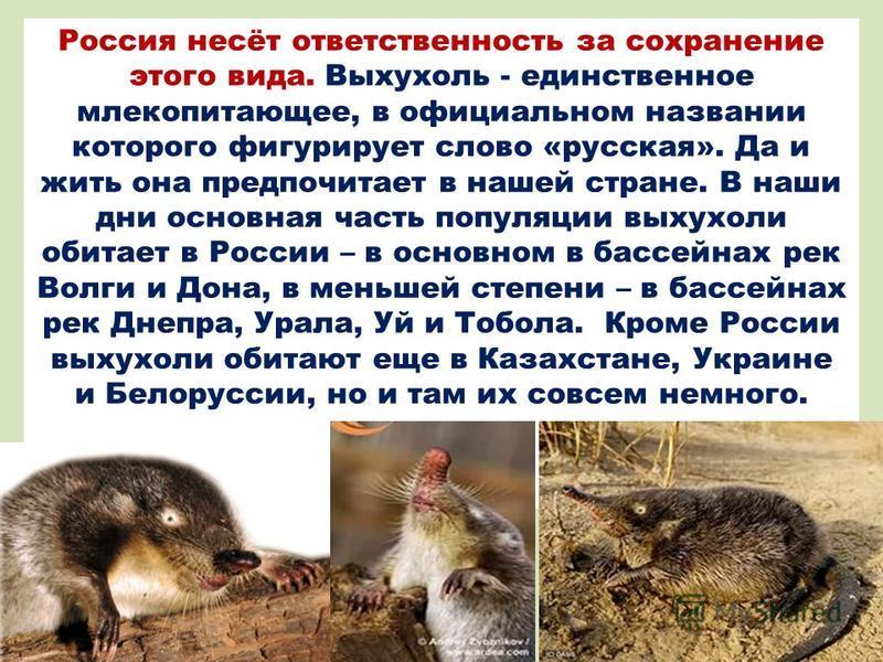 Россия несёт ответственность за сохранение этого вида. Выхухоль - единственное млекопитающее, в официальном названии которого фигурирует слово «русская». Да и жить она предпочитает в нашей стране. В наши дни основная часть популяции выхухоли обитает