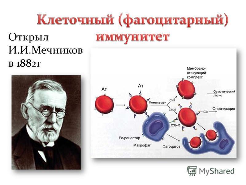 Открыл И.И.Мечников в 1882 г