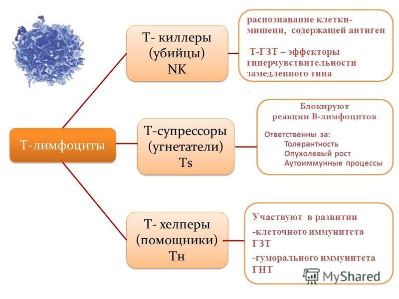 Т-лимфоциты Т- киллеры (убийцы) NK Т- киллеры (убийцы) NK Т-супрессоры (угнетатели) Тs Т-супрессоры (угнетатели) Тs Т- хелперы (помощники) Tн Т- хелперы (помощники) Tн распознавание клетки- мишени, содержащей антиген Т-ГЗТ – эффекторы гиперчувствител